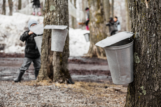 Collecting Sap for Maple Syrup